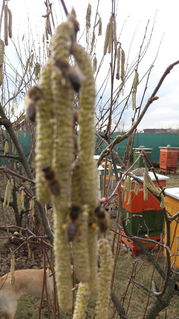 Pszczoły  7 marca na leszczynie