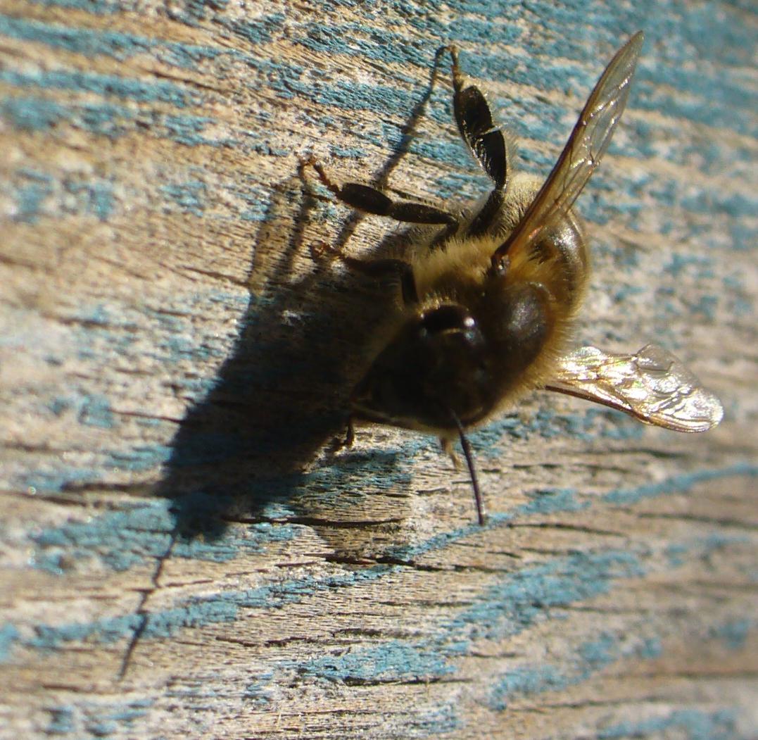 pszczólka 1   Kopia   Kopia