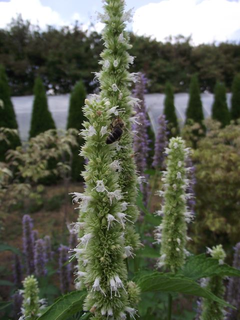 Agastache foeniculum 7