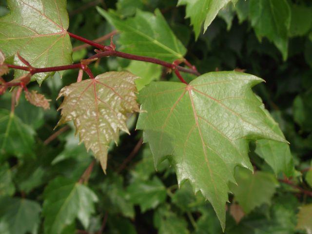 Tilia mongolica 2