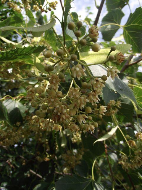 Tilia henryana 1
