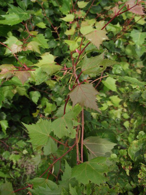 Tilia mongolica 3