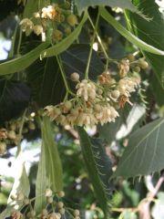 Tilia henryana 5