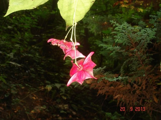 Euonymus_macropterus_fruit_3.JPG