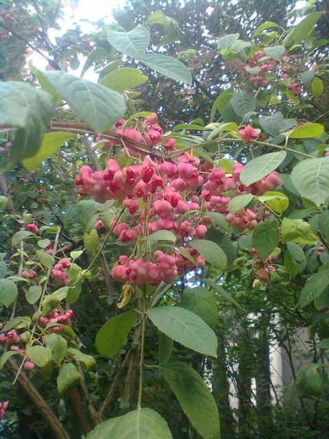 Euonymus_phellomanus_fruits_5.jpg
