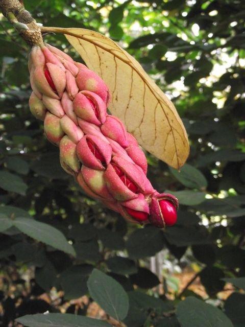 Magnolia_owocostan_1.JPG