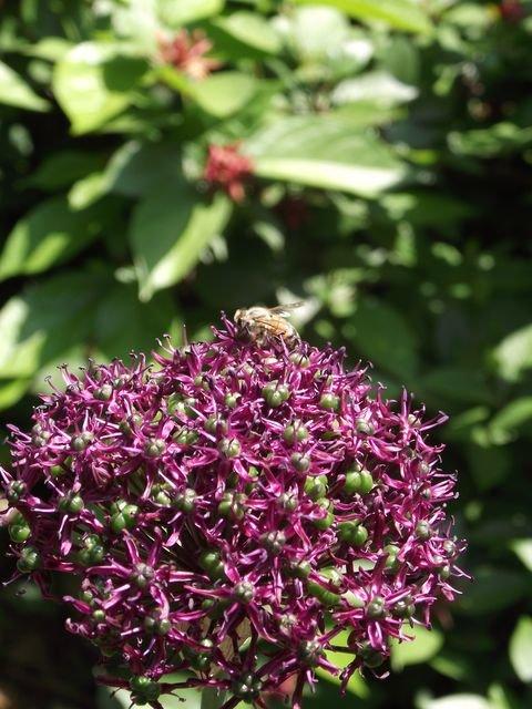 Allium_christophii.JPG