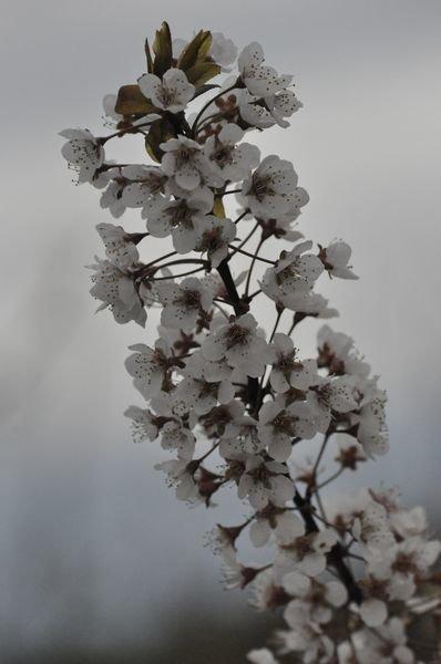Prunus_Salezianie_5.JPG