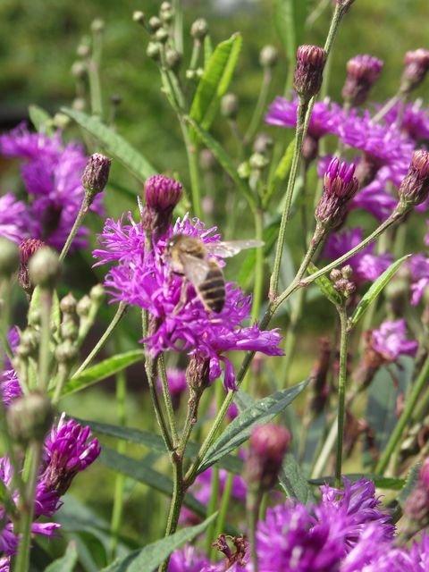 Vernonia_crinita_Mammuth_2.JPG