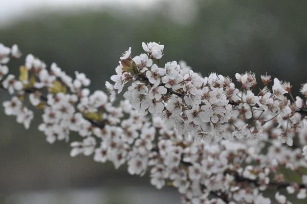 Prunus_Salezianie_3.JPG