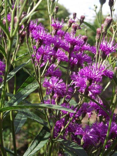 Vernonia_crinita_Mammuth_1.JPG