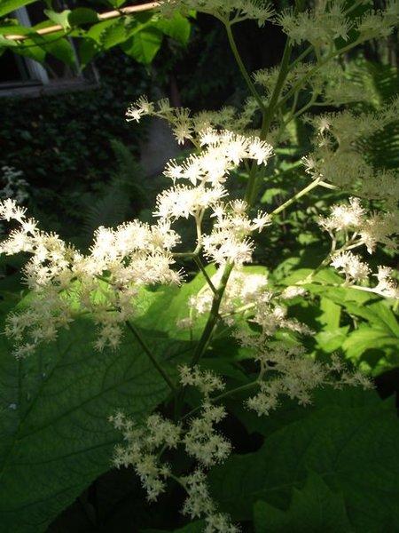 Rodgersia_podophylla.JPG